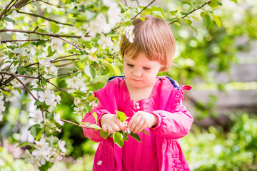 Todler pulls the petals from the flowers of the apple tree. Springtime in the countryside.