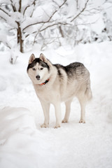 Husky dog standing full size on winter outdoor background