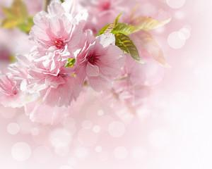 Pink Sakura Flowers Isolated White Background