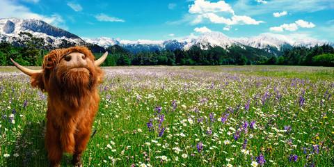 Sommer Landschaft mit Kuh auf einer Blumenwiese und Berge im Hintergrund