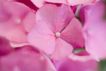 Fotomurales - Pink hydrangea background, pattern and floral texture. Bushes of flowers are blooming in spring and summer.