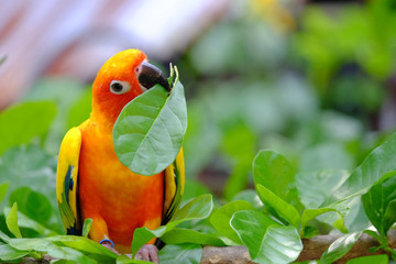 Closeup of innocent face colorful parrot holding fresh green leaf on branch of a tree