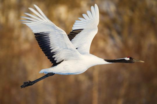 Red-crowned crane bird dancing on snow and flying in Kushiro, Hokkaido island, Japan in winter season