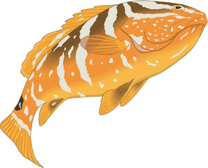 Nassau Grouper Vector Illustration