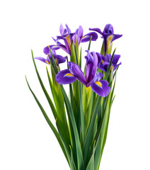 Iris flowers over white background