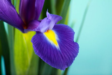Iris flower close up