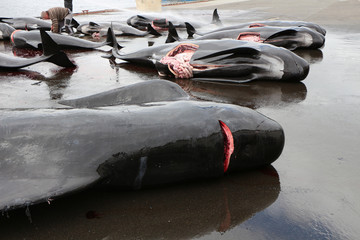 The killed black dolphins are being cut by the inhabitants of the commune of Runavik, Faroe Islands
