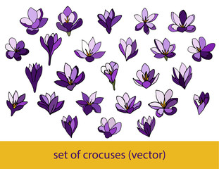 Set of Crocus pink, purple, lilac, white vector closeup. First flowers. It will be helpful for your design. Beautiful first spring flowers crocuses bloom under bright sunlight