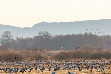 Flock of cranes at a field