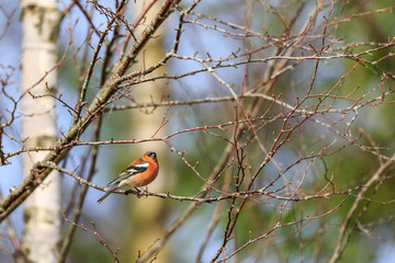 Chaffinch sitting on a tree branch in spring