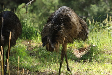 Emu in australia is a flightless big bird photographed in natural environment in southern australia