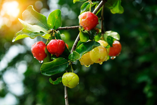 Acerola small cherry fruit on the tree and sunset background
