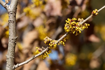 Yellow flower witch hazel blossoms in early spring