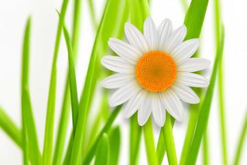 Flower background grass whith white daisy flower