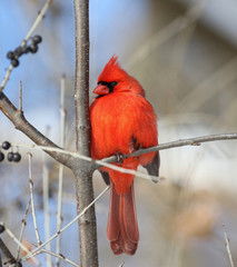 red cardinal in a tree during winter