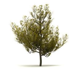 Single Cornus Mas Tree