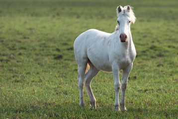 White horse in the pampas