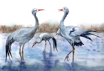 Cranes Stanley by the river, watercolor painting. African  belladonna or paradise four-winged crane (Anthropoides paradiseus), zoological illustration, hand-drawing.