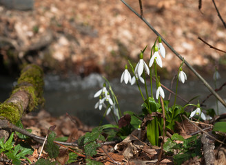 Snowdrops blooming in the forest