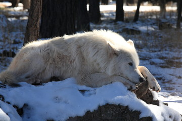 A white wolf lying on the snowy ground