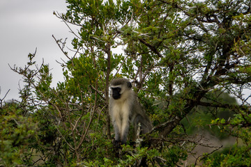 Vervet monkey during a game drive in South Africa