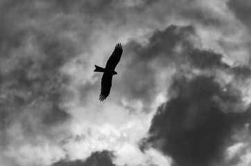 Silhouette of an eagle soaring in the sky. Black and white image