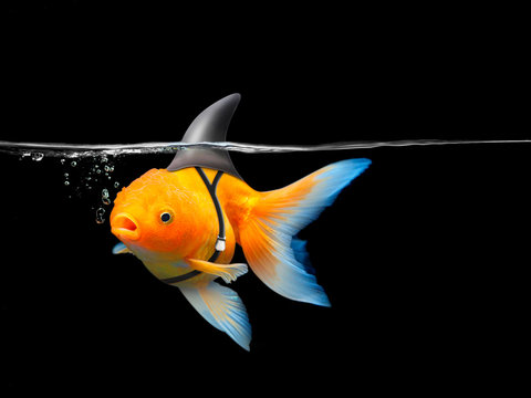 Goldfish with shark fin swim in black water, Gold fish with shark flip . Mixed media