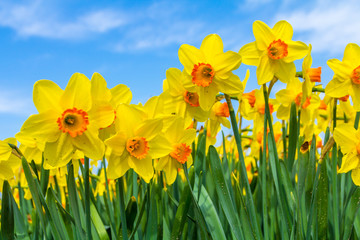 Deurstickers Narcis yellow dutch daffodil flowers close up low angle of view with blue sky background