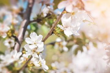 Blooming cherry tree in spring day
