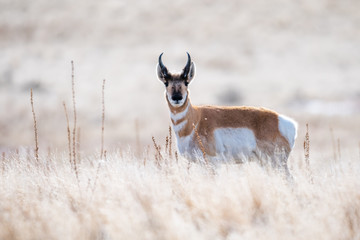 Stores photo Antilope Pronghorn in Antelope Island State Park, UT