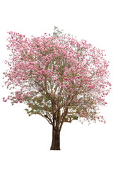 Tabebuia tree pink poui or rosy trumpet flower the national tree of El Salvador in full bloom during Spring season isolated on white background