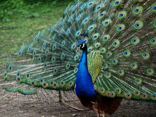 Peacock, a colorful bird showing its feathers