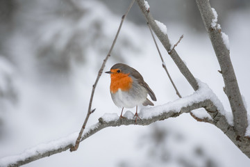 Robin (redbreast) in the snow