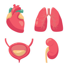 Internal organs vector illustration. Vector drawing of heart, lungs, bladder, kidney