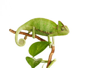 green chameleon isolated on white background