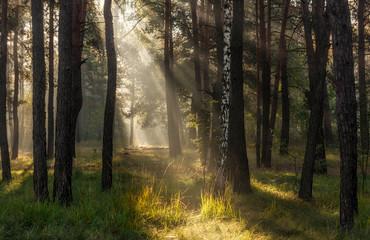 Morning. Sunlight. Sun rays. Forest.