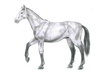 Thi is realistic sketch anatomy of the horse. It's a sketch striding horse-drawn pencil.