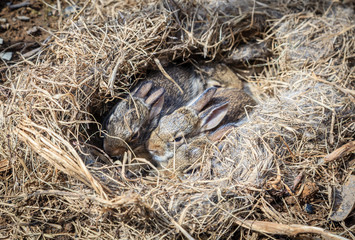 Baby rabbits in the nest Wall mural