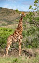 giraffe in the south African Savannah