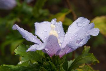 blue hibiscus raindrop