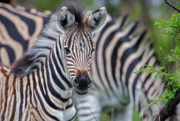 Aluminium Prints Zebra curious zebra baby in the south african savannah