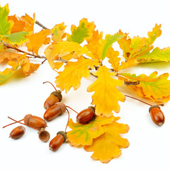 Dried acorns with oak leaf isolated on white.