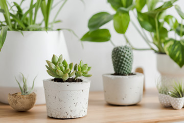 Close up of botanical interior air plants, cacti and succulents composition in design and hipster pots on the brown table. White walls. Modern and floral concept of home garden interior. Nature love.