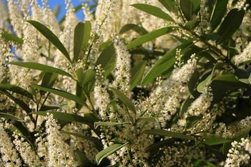 White flowers of Cherry laurel in spring
