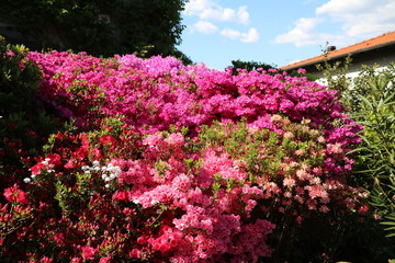 Various types of Azalea blossoms at Lake Maggiore in spring, Italy