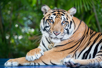 THAILAND PATTAYA NONG NOOCH TIGER SHOW