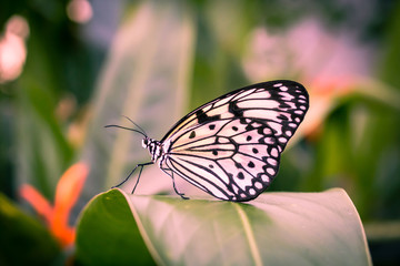 Beautiful, white and black buttefly close up photograph