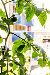Green growing tomato plant in the window