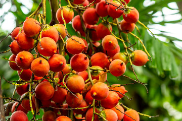 berries orange set of oval brightly colored betelas palm tree close-up background vegetable flora thailand india