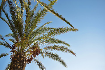 Bottom view of a palm tree with red and sweet date fruit and green branches top of it